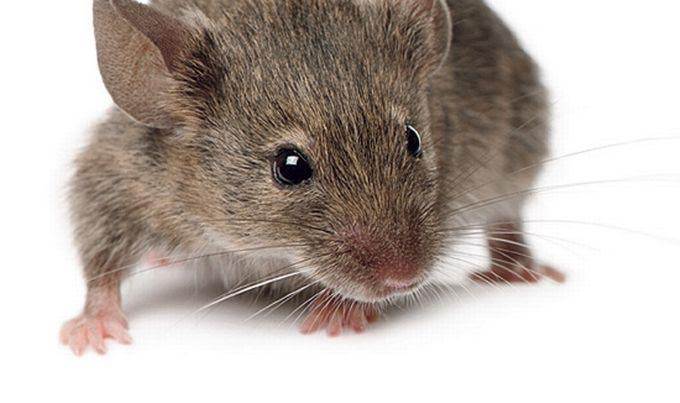 Mišja groznica - koji su simptomi bolesti?